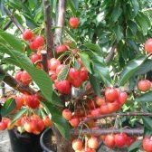 Meyve Fidanları (2)