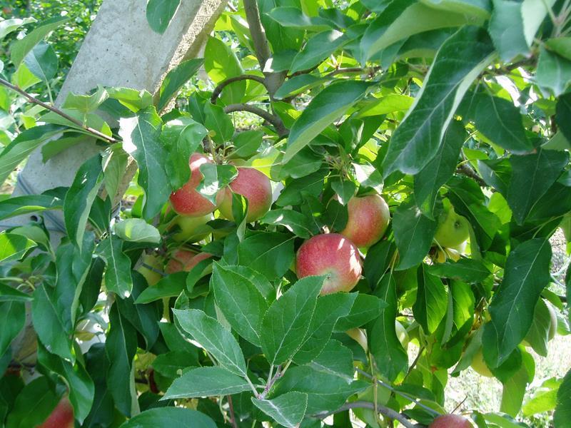 elma fidanı, armut fidanı, kiraz fidanı, erik fidanı, kayısı, şeftali, muşmula, iğde, vişne, naşhi, incir, ayva, kestane, trabzon hurması, dut, ters dut, bodur elma, bodur erik, bodur armut, bodur kiraz, ceviz, böğürtlen, ahududu, üzüm asma, hünnap yani halk diliyle innap fidanı