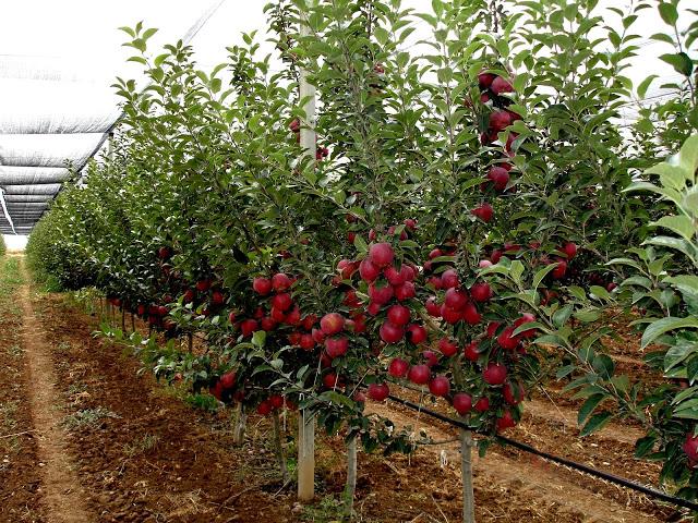 Meyve Fidanları